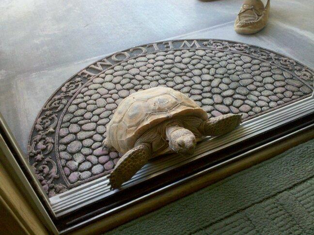 desert tortoise at the threshold