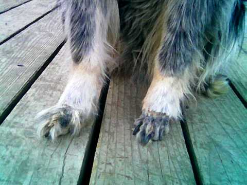 one hairy dog paw and one shaved dog paw